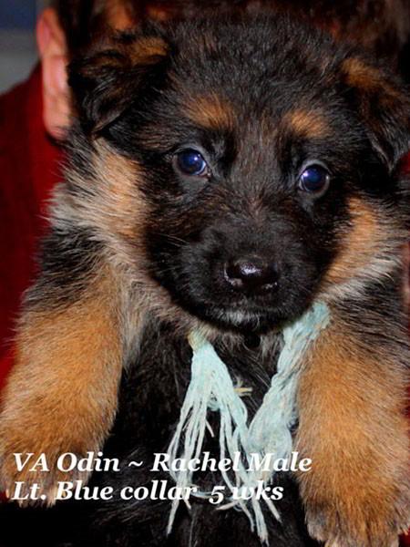 Retired Breeding Females Rachel von der Zenteiche - Progeny 10