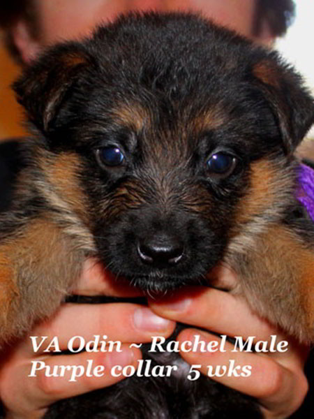 Retired Breeding Females Rachel von der Zenteiche - Progeny 11
