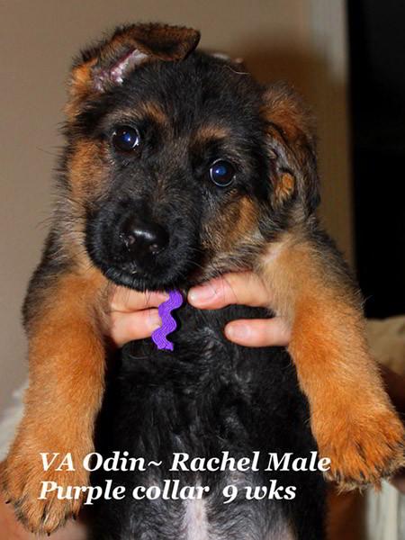 Retired Breeding Females Rachel von der Zenteiche - Progeny 2