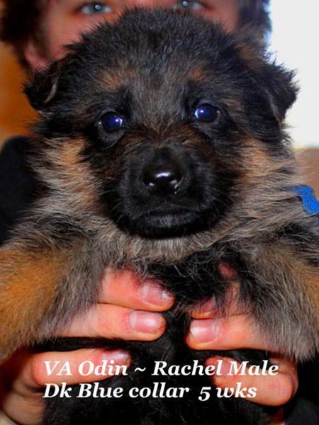 Retired Breeding Females Rachel von der Zenteiche - Progeny 8
