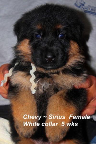Champion Stud V Sirius vom Mittelwest - Progeny 11