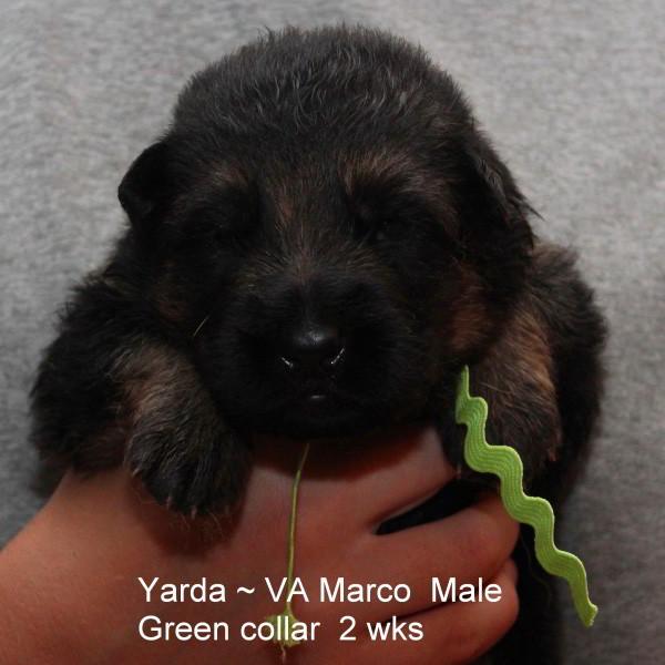 Champion Stud VA Marco vom Mittelwest - Progeny 39