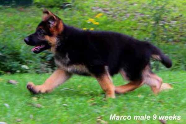 Champion Stud VA Marco vom Mittelwest - Progeny 8