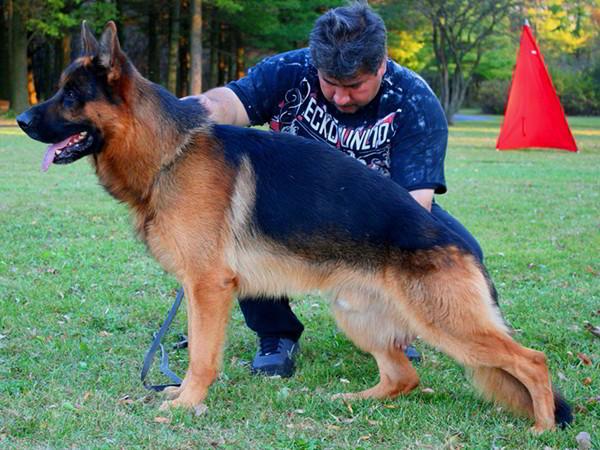 Champion Stud - VA1 SIEGER Rocco vom Mittelwest 1