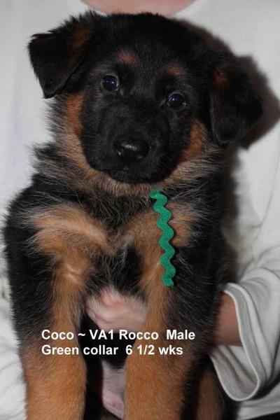 Champion Stud VA1 SIEGER Rocco vom Mittelwest - Progeny 18