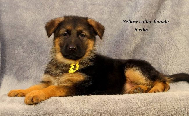 Coby-8-Yellow
