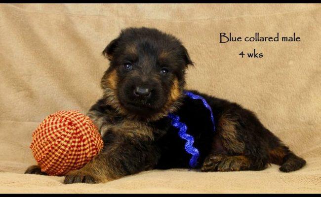 Coby-Jack-4-Blue
