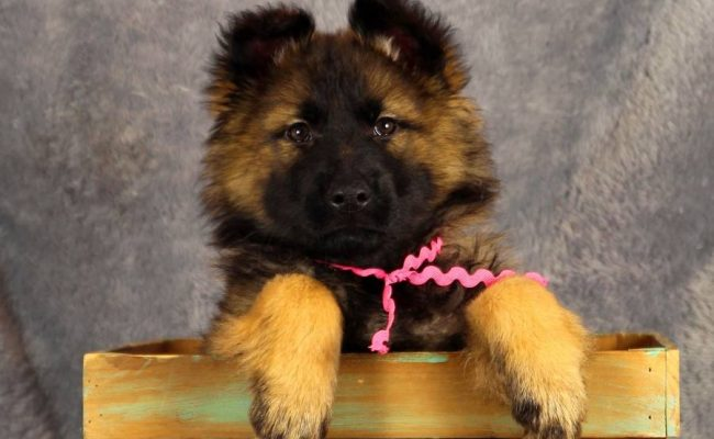 Sable-Female-Pink-D