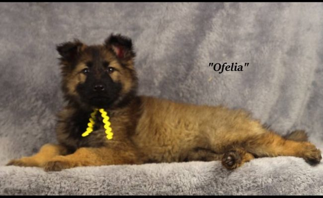 Sable-Female-Yellow-A