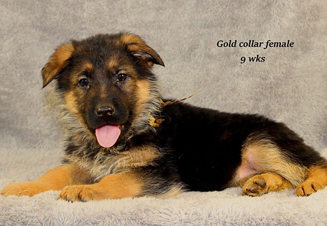 Coby 9 Gold
