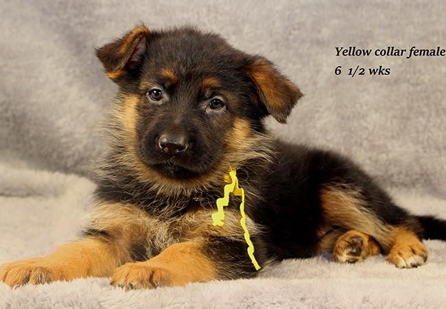 Lena 65 Yellow