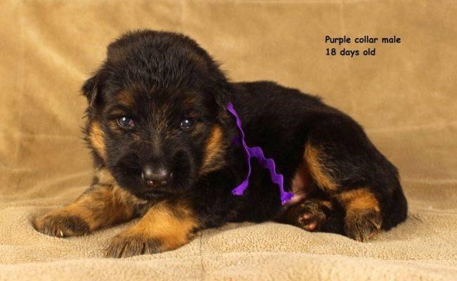 Maggie-18-Days-Purple