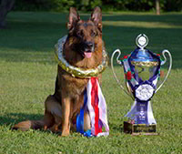 The Show Results Of Mittelwest German Shepherds