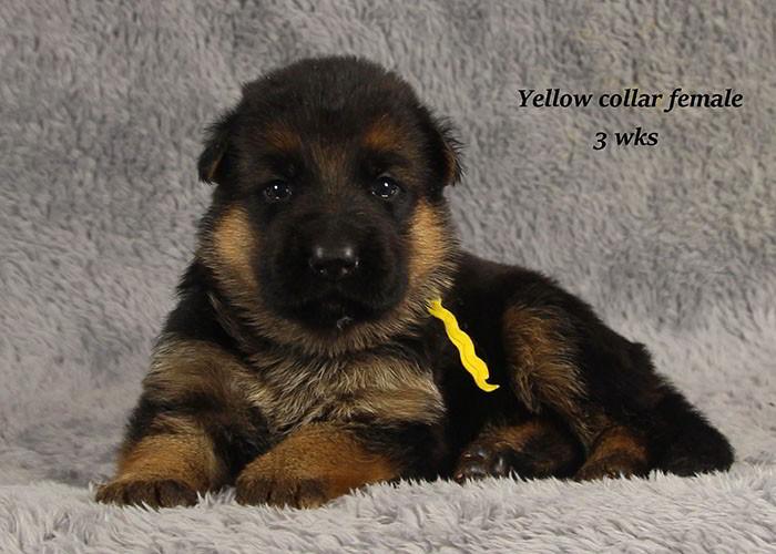Chi-Chi-3-Yellow