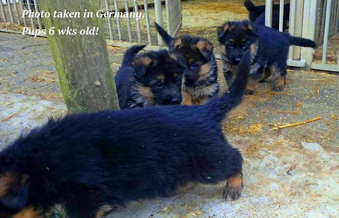German-Pups-March-3