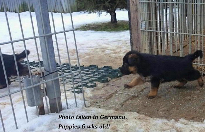 German-Pups-March-3B