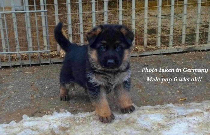 German-Pups-March-3C