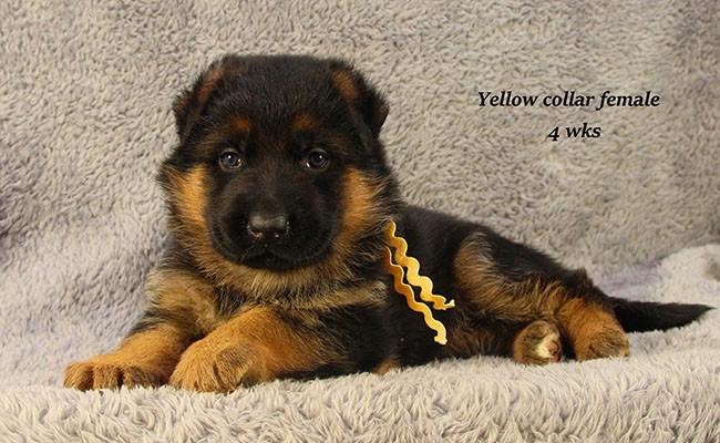 Yarda-4-Yellow