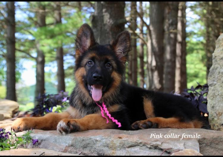 Bodo x Maike - Pink Collar Pup