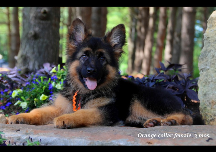 Bodo x Maike - Orange Collar Pup