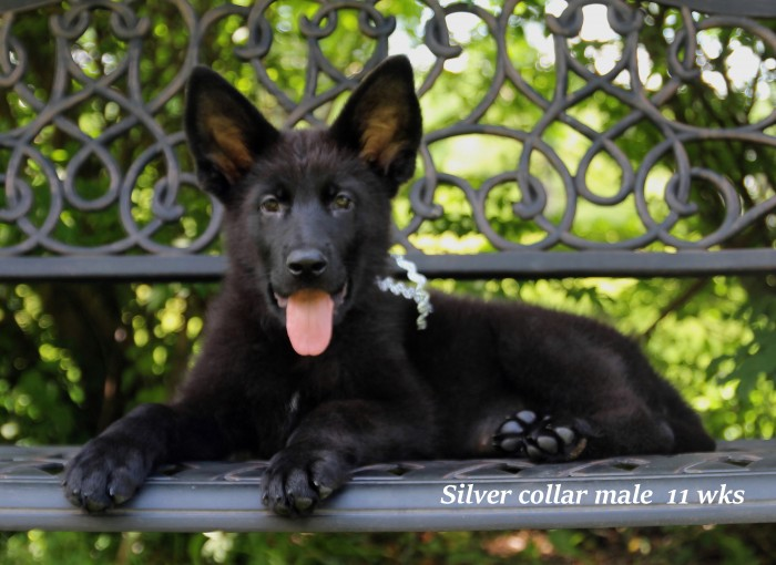 Arry x Ruby - Silver Collar Pup
