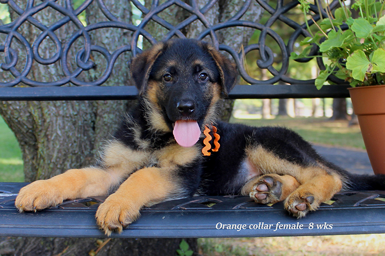 Netzer x Ischara - Orange Collar Female