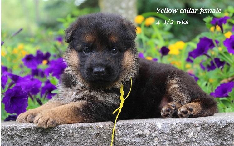 xtra-45-yellow