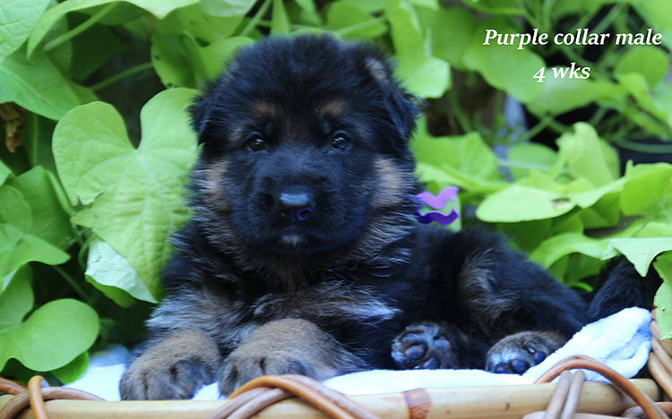 Alba x Kaspar - 4 Week Purple Collar Male