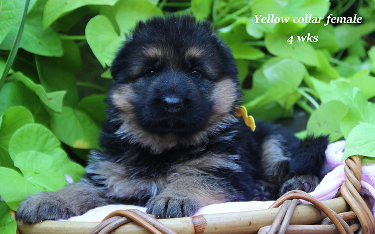 Alba x Kaspar - 4 Week Yellow Collar Female 2