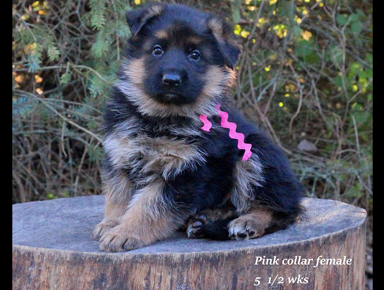 Alba x Kaspar - 5 half week Pink Collar Female 2