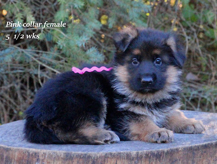 Alba x Kaspar - 5 half week Pink Collar Female