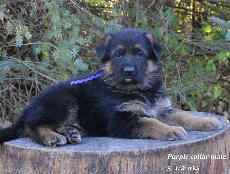 Alba x Kaspar - 5 half week Purple Collar Male