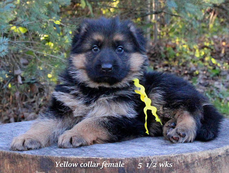 Alba x Kaspar - 5 half week Yellow Collar Female