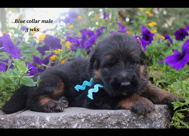 Alba x Kaspar - Blue Collar 3 Week Male