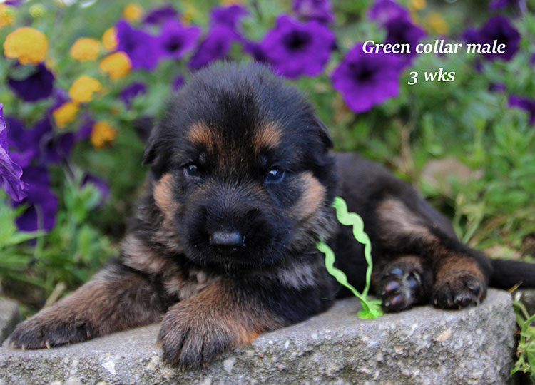Alba x Kaspar - Green Collar 3 Week Male