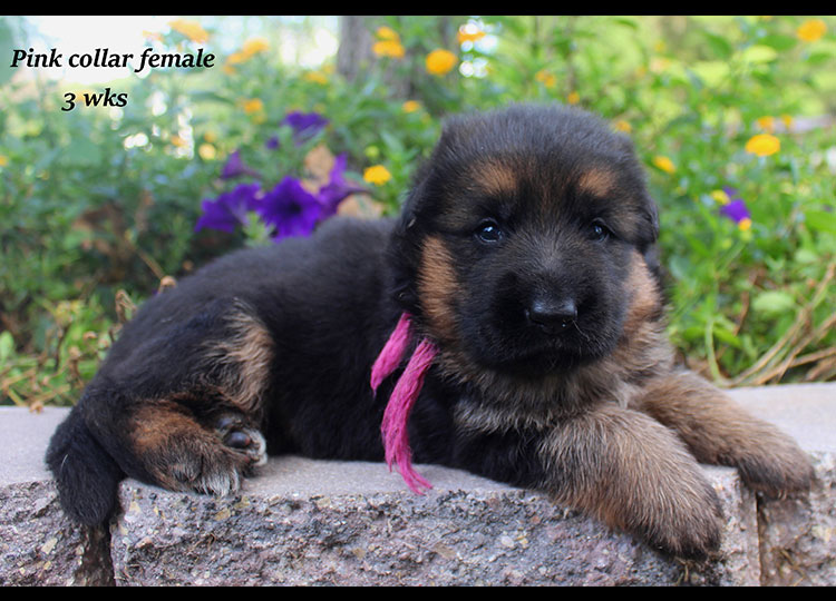 Alba x Kaspar - Pink Collar 3 Week Female