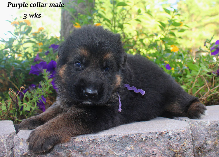 Alba x Kaspar - Purple Collar 3 Week Male 2