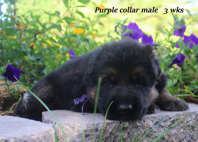 Alba x Kaspar - Purple Collar 3 Week Male