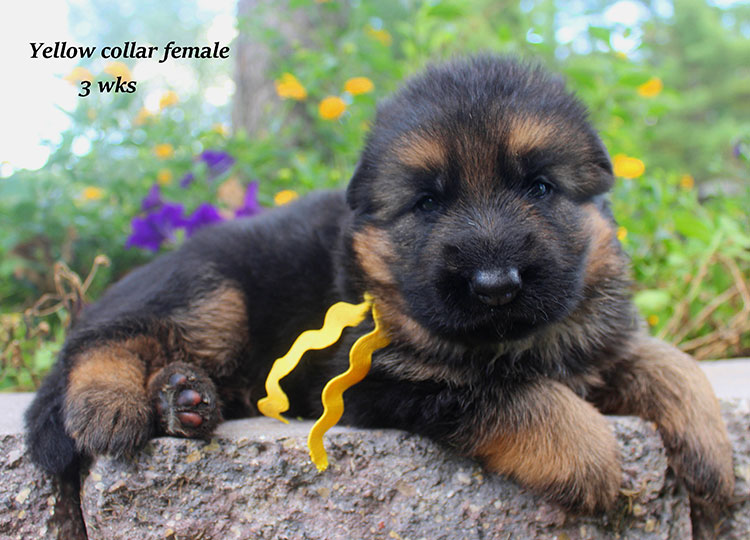 Alba x Kaspar - Yellow Collar 3 Week Female