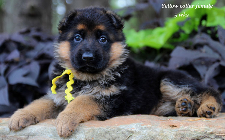 Djambo x Vanna - 5 Week Yellow Collar Female