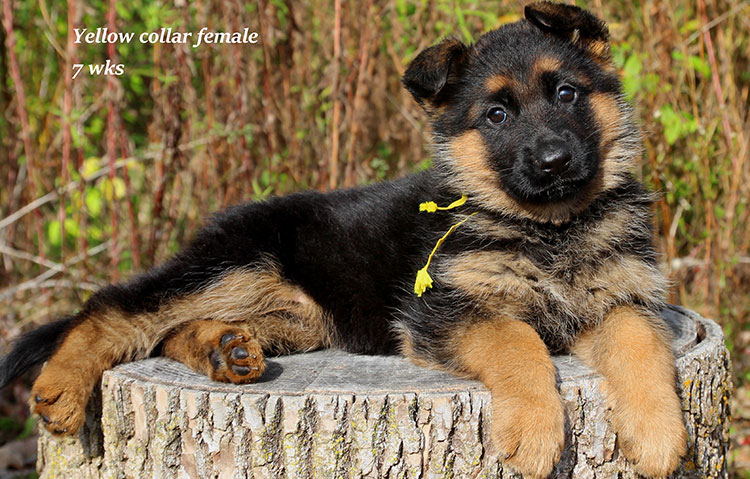 Djambo x Vanna - 7 Week Yellow Collar Female 2