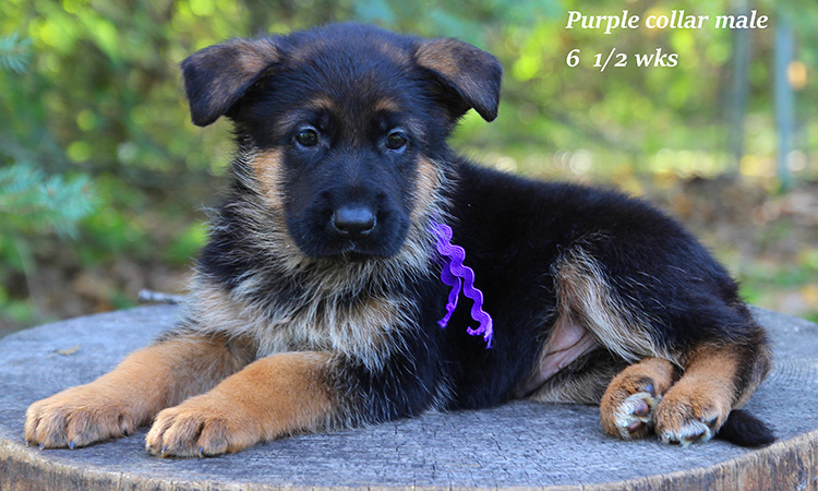 Figo x Brienne - 6 and Half Week Purple Collar Male