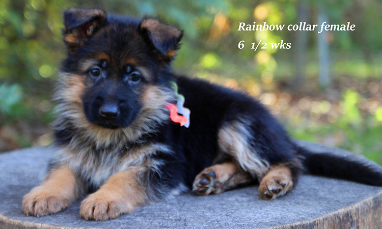 Figo x Brienne - 6 and Half Week Rainbow Collar Female