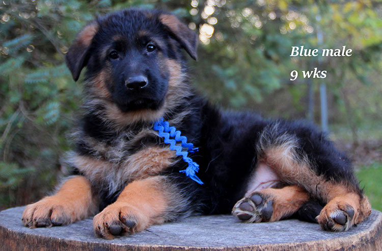 Figo x Brienne - 9 Weeks Blue Collar Male