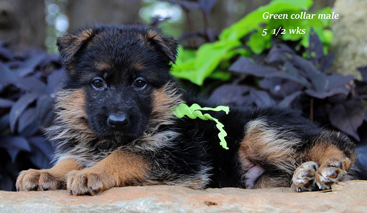 Figo x Brienne - Green Collar Male