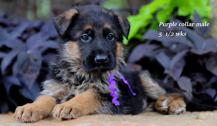 Figo x Brienne - Purple Collar Male 2