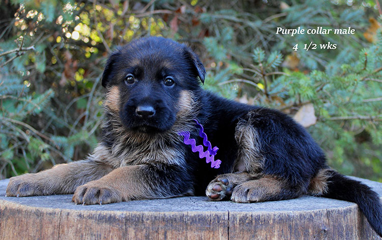Figo x Brienne - Purple Collar Male