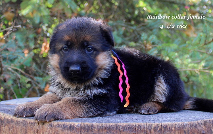 Figo x Brienne - Rainbow Collar Female