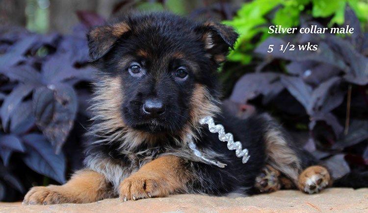 Figo x Brienne - Silver Collar Male