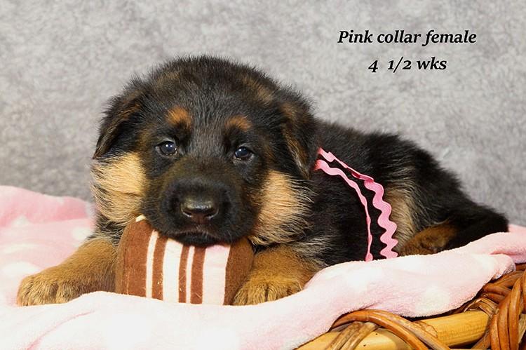 Figo x Philly - Pink Collar Female